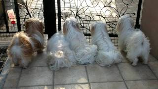 My Shih Tzu Family