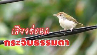 เสียงต่อนกกระจิบธรรมดา ชัด 100% Tailorbird sound