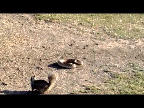 SQUIRREL DEFENDS HIS TERRITORY AGAINST SNAKE