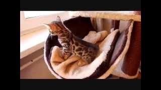 Бенгальские котята питомник. http://www.bengalocats.com/