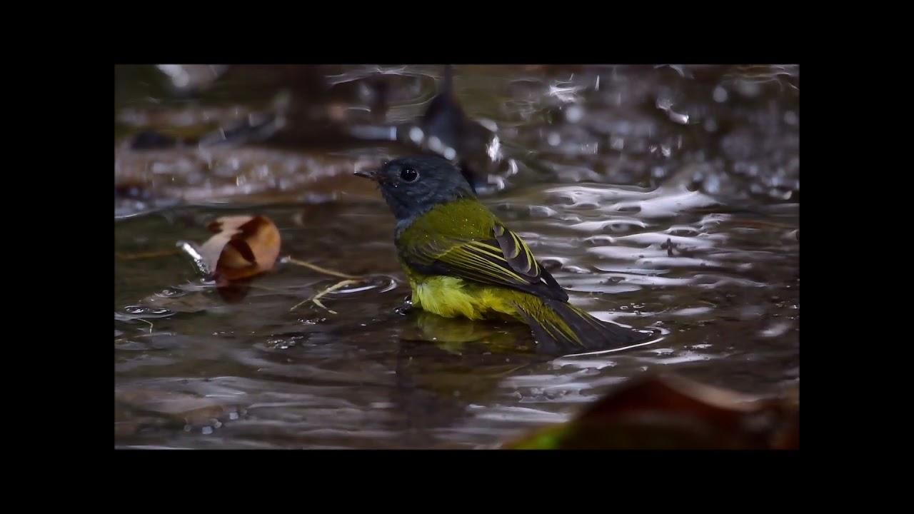 016  นกจับแมลงหัวเทา Grey headed Canary Flycatcher