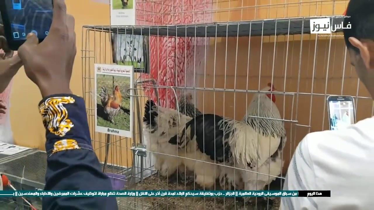 جولة بالمعرض : أكبر ديك بالمغرب يثير فضول الزوار و تهافت من اجل تصويره بمعرض الفلاحة بمكناس