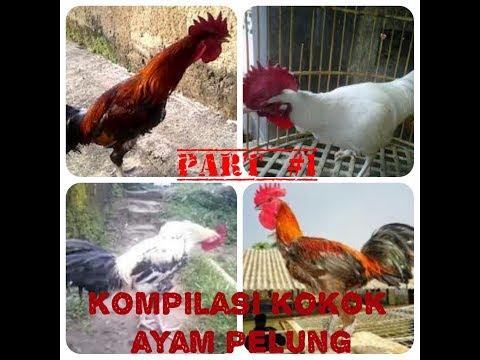 Video Kumpulan Kokok Ayam Pelung Terpanjang Ternyaring Termerdu Terindah. part#1