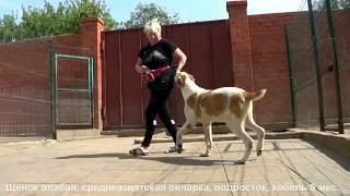 Щенок алабая, среднеазиатская овчарка, подросток, кобель 5 мес. www.r-risk.ru +7 9262205603 Татьяна