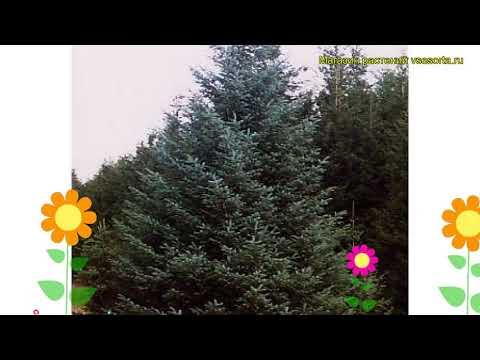 Ель ситхинская. Краткий обзор, описание характеристик, где купить саженцы Picea Sitchensis