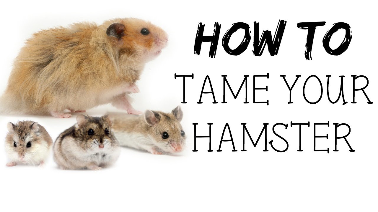 Watch How to Make Your Hamster Trust You video