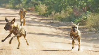Lioness Tracks Down Wild Dogs From 4kms Away