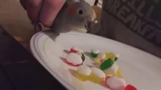caique parrot talking