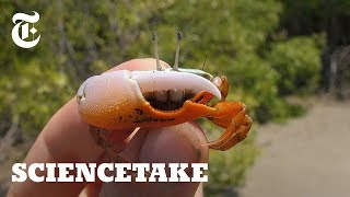 Robot Claw Shows Intricacies of Crab Courtship | ScienceTake