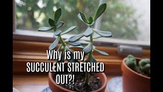How to fix Leggy Succulents! GARDEN MAINTENANCE!