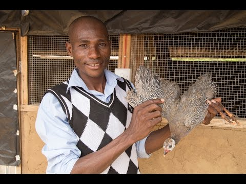 Guinea Fowl Farming Hatches Jobs in Ghana