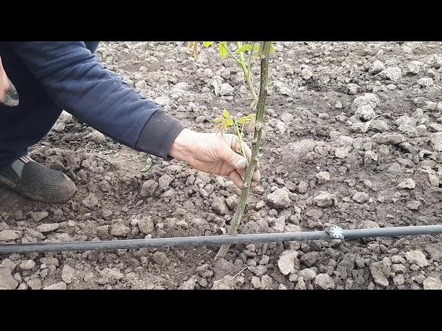 Саженец грецкого ореха 1 год:  зеленые операции