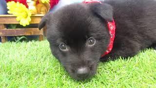 ペットショップ 犬の家 尼崎店 「78057:甲斐犬」