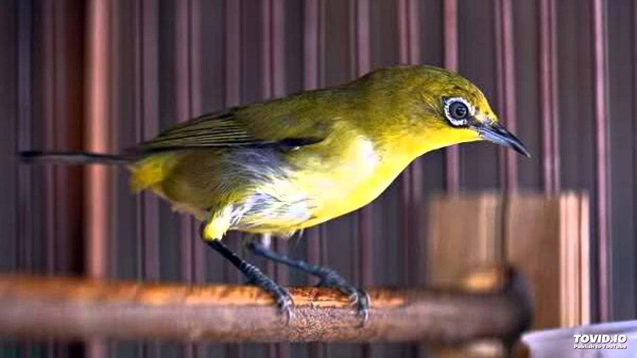 Suara Kicauan Burung PLECI kacamata Merdu Untuk MASTERAN - YouTube 850bc158b5