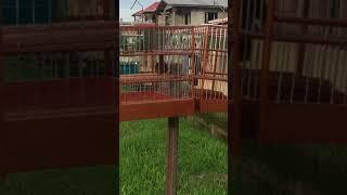 Guyana bird - karma