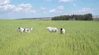Питомник Якогор прогулка в поле, Пиренейская горная собака и Торняк (Хорватская горная собака)