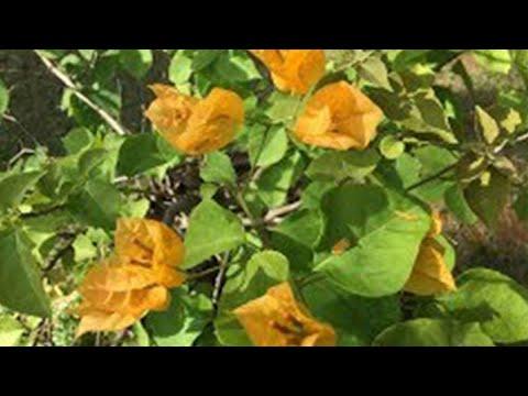 Primavera ou  bougainville amarelo - como plantar no vaso.
