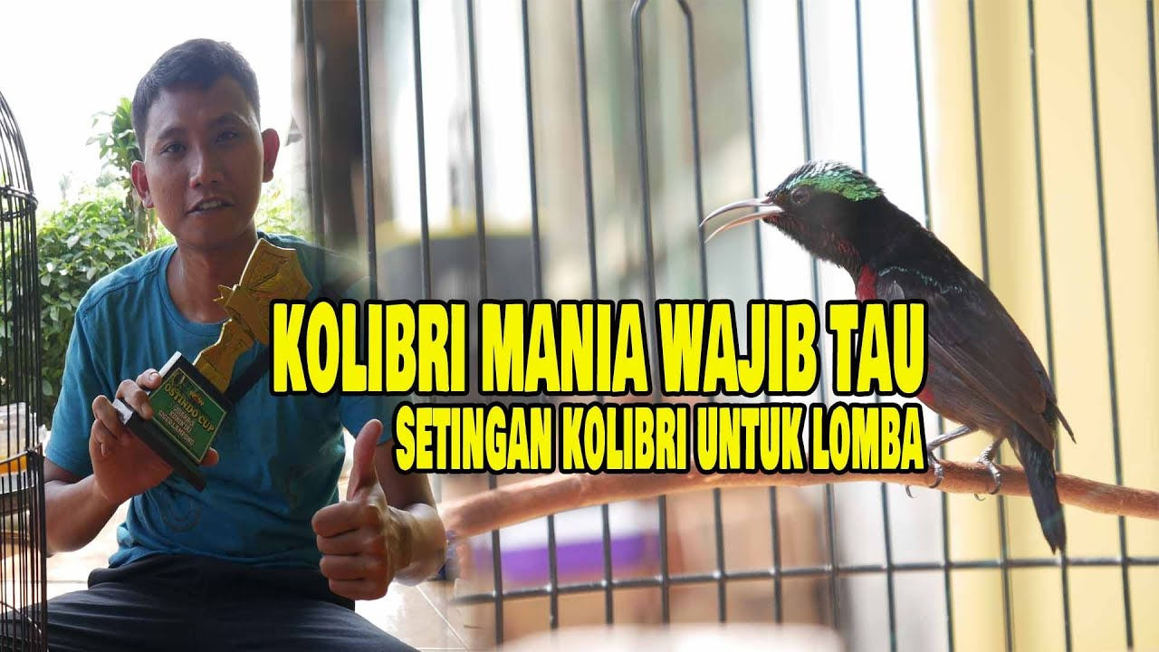Setingan Lomba Kolibri Ninja Konin Mania Wajib Tau Youtube