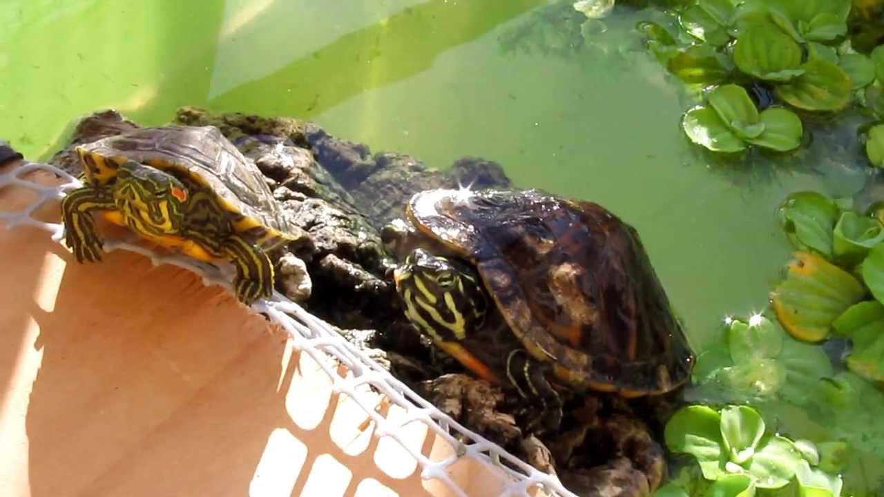 Pseudemys nelsoni scripta troosti nell 39 acquario ikea for Filtro vasca tartarughe