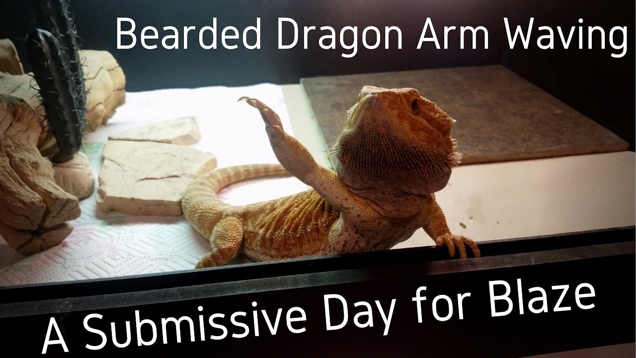 Bearded Dragon Blaze Arm Waving 4k Uhd Youtube