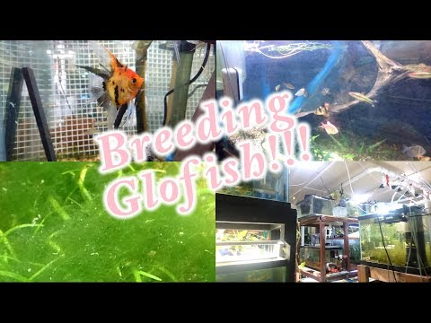 Breeding Glofish! Plus A Fish Room Update December 8, 2018