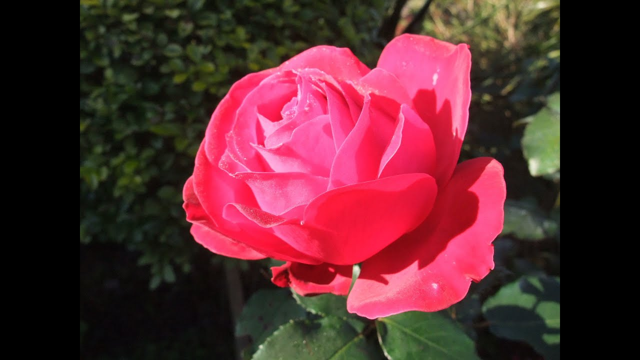 How To Prune A Rose Bush To Encourage More Blooms Youtube