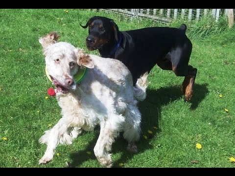 Gus Doberman trying to get fruity with Otis English Setter.