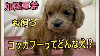 ペットで犬を飼おうと迷っている方へ〜コッカプー〜 世の中には様々な犬...