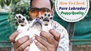 How to Check Pure Labrador Puppy || Lab pure hai ya Mix kaise pata lagaye?
