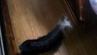 http://wansutoraiku.com/youtube.html 親犬と遊んでいるヨーキの仔犬で...
