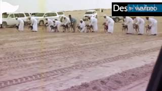 Dogs race in saudi arab best race in world by desi mahol