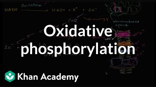 Oxidative Phosphorylation And The Electon Transport Chain