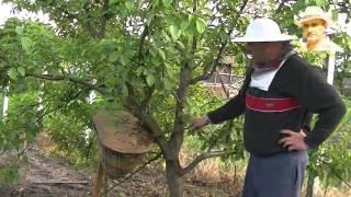 Un alt mod de formare a nucleelor si roi în pom