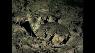 Rare wild cat species in India's wilderness, or a domestic cat?