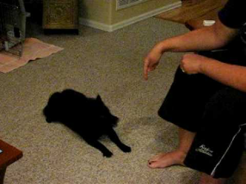 Schipperke Bailey's tricks