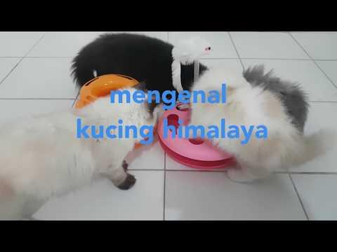 Himalayan Cat Breed. Kucing Persia Himalaya