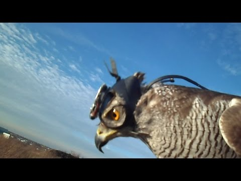 How goshawks track their prey