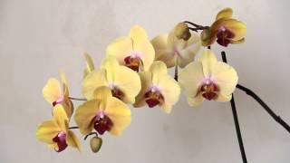 Орхидея домашняя цветение уход(Орхидея домашняя цветение., 2015-09-02T19:02:21.000Z)