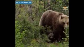 Медведей бояться- в лес не ходить. 15.06.2016