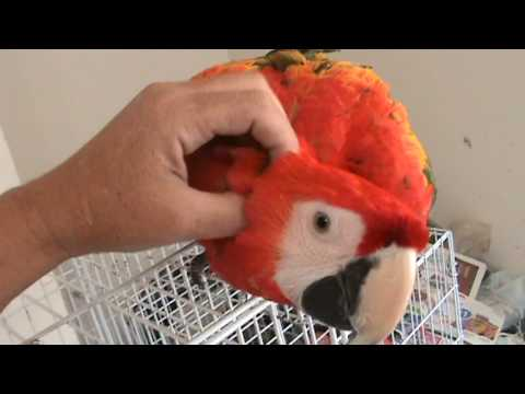 The Scarlet Macaw is a Popular parrot