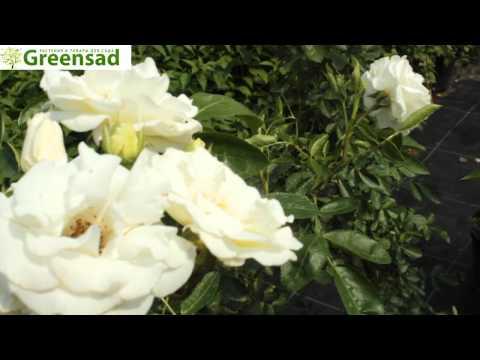 """Роза """"White Swany"""" - видео-обзор от Greensad"""