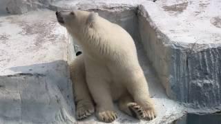 天王寺動物園 白熊 おとなし過ぎる子熊のイッちゃん thumbnail