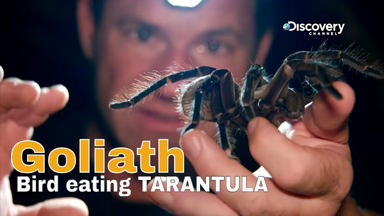 Close Encounter with the Goliath   bird eating tarantula   Fierce     Close Encounter with the Goliath   bird eating tarantula   Fierce    Discovery Channel