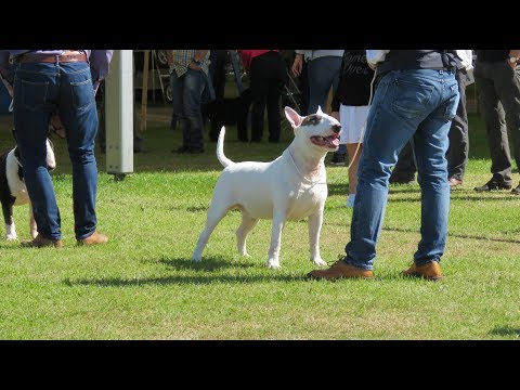 Southern Counties 2017 Bull terrier Dog and Bitch Classes CC's