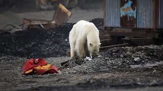 Hungry polar bear wanders major Russian town as wildfires rage across Arctic Circle