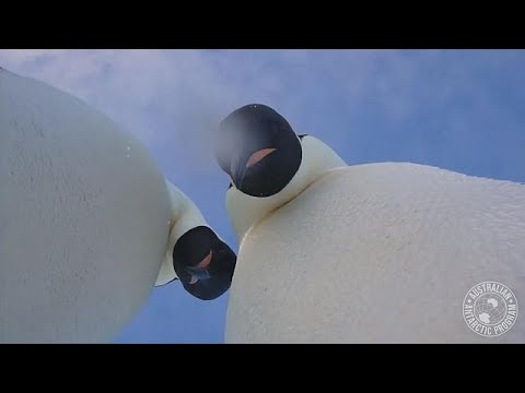 Watch: Wild emperor penguins take selfies with explorer's camera