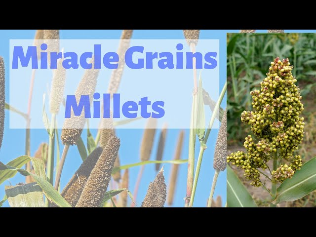 Millets - Miracle grains | Health and Agronomic Advantages