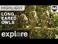 Long Eared Owls Hear a Strange Sound - Live Cam Highlight