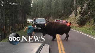 Man taunts bison at Yellowstone