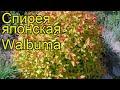 Спирея японская Вальбума. Краткий обзор, описание spiraea japonica magic carpet Walbuma